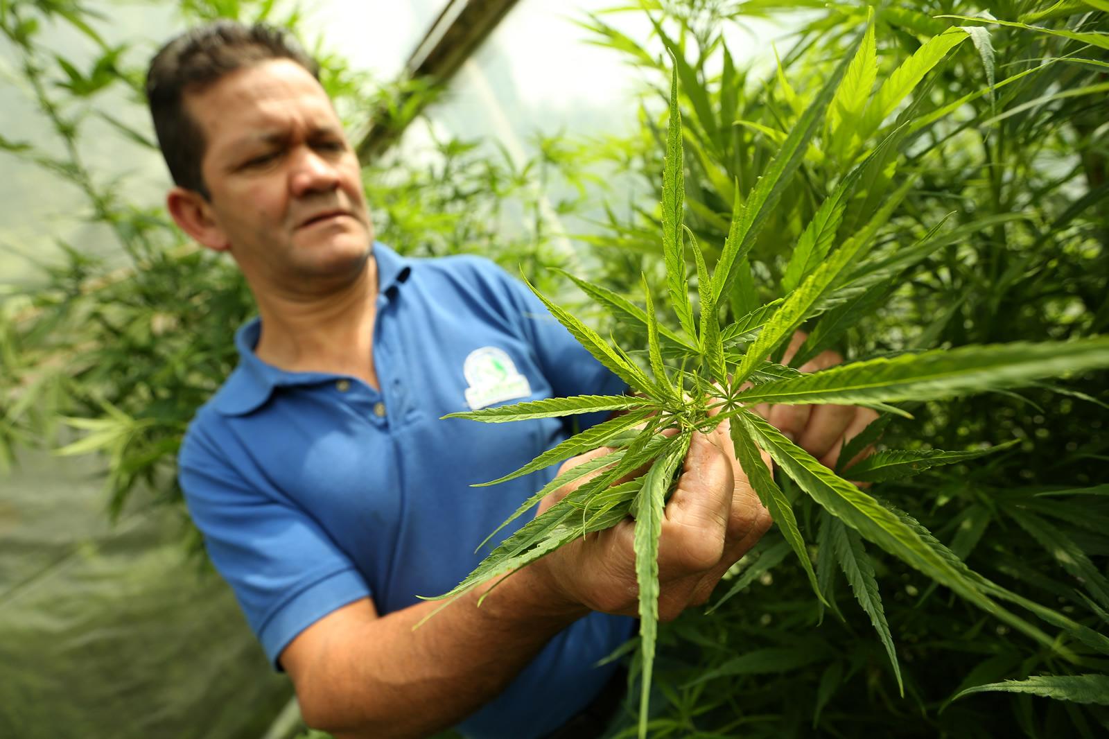 La mata que sana: el boom colombiano del cannabis medicinal