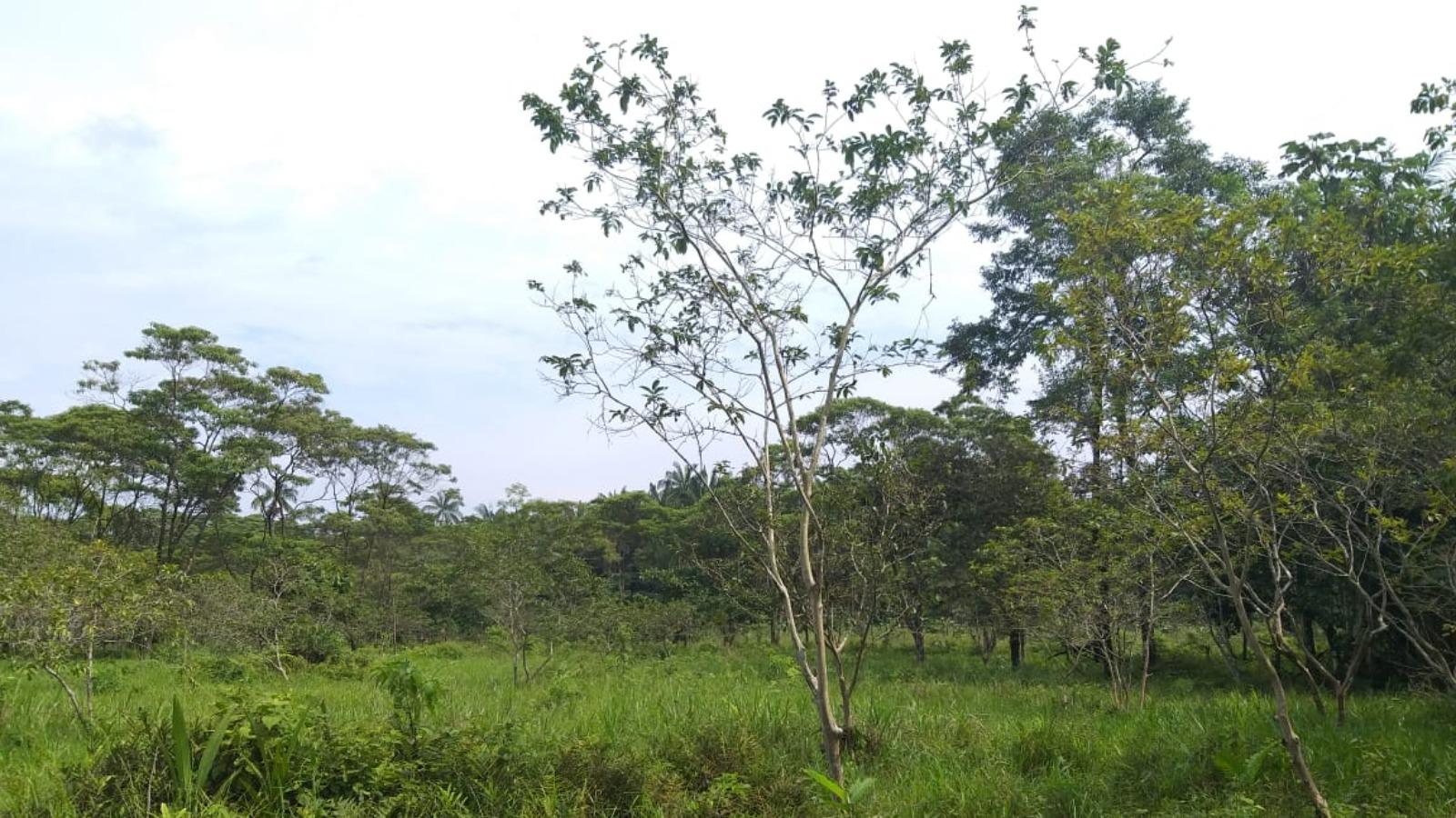 El asaí: el fruto que transformó la vida de 80 familias en Puerto Asís