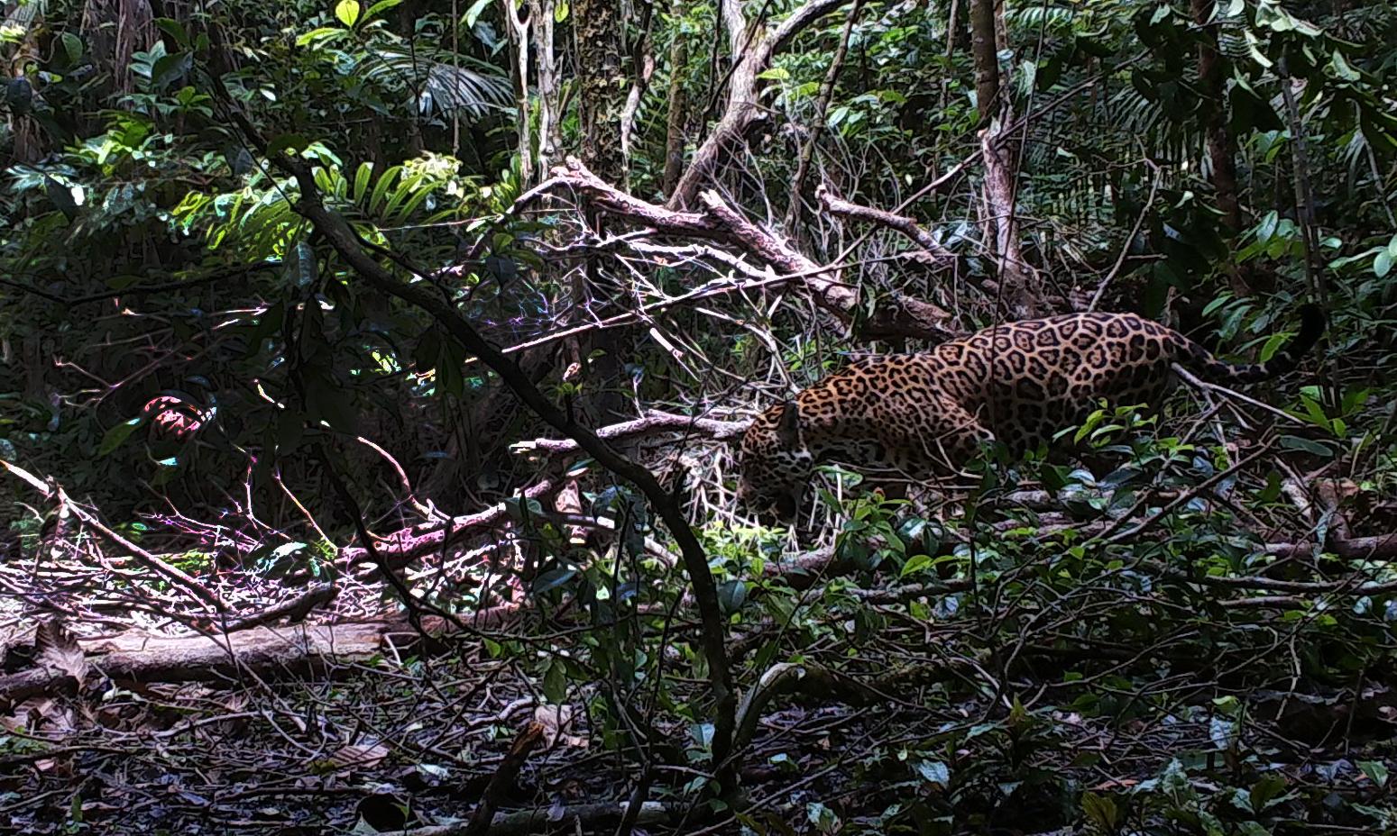 Jaguares trinacionales