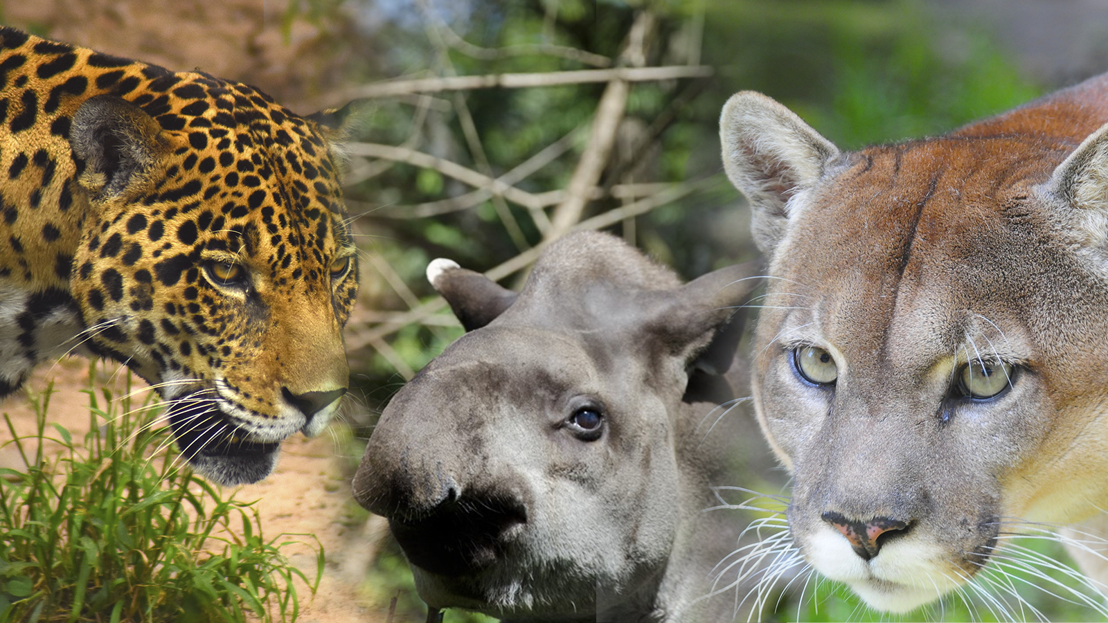 Galería: destinan 228 mil hectáreas para la protección de la danta, el puma y el jaguar