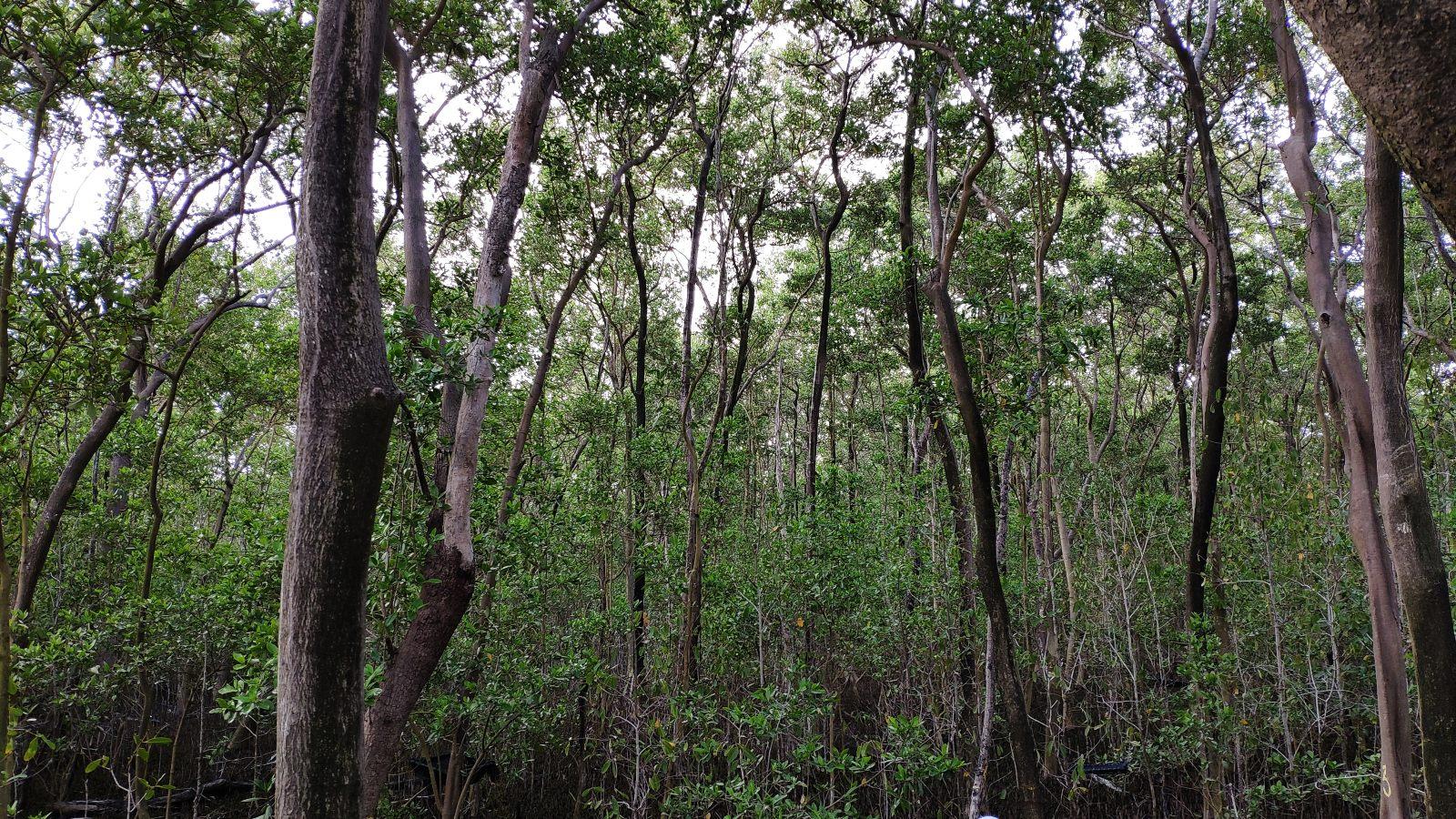 En San Andrés el manglar tiene una segunda oportunidad