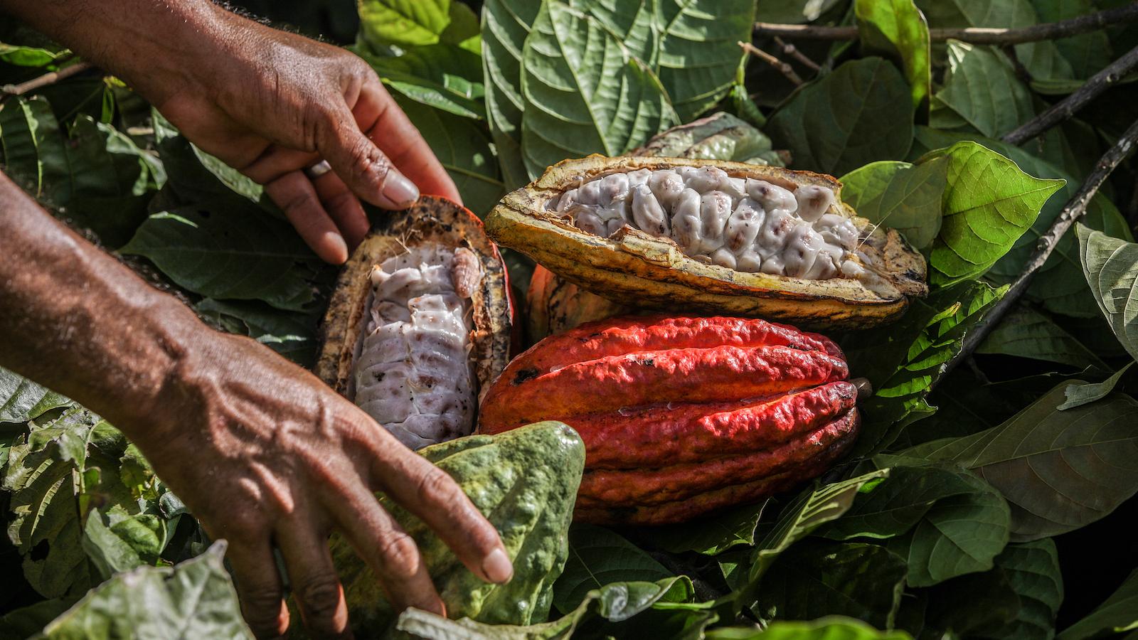 Cacao en vez de coca
