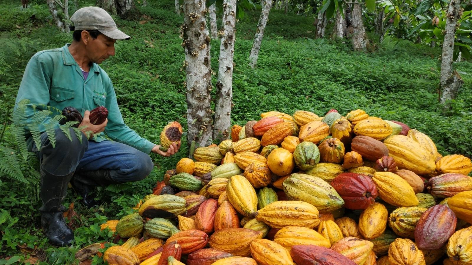 Cacaoteros de Santander, los más productivos y 'duchos' en el monitoreo del clima