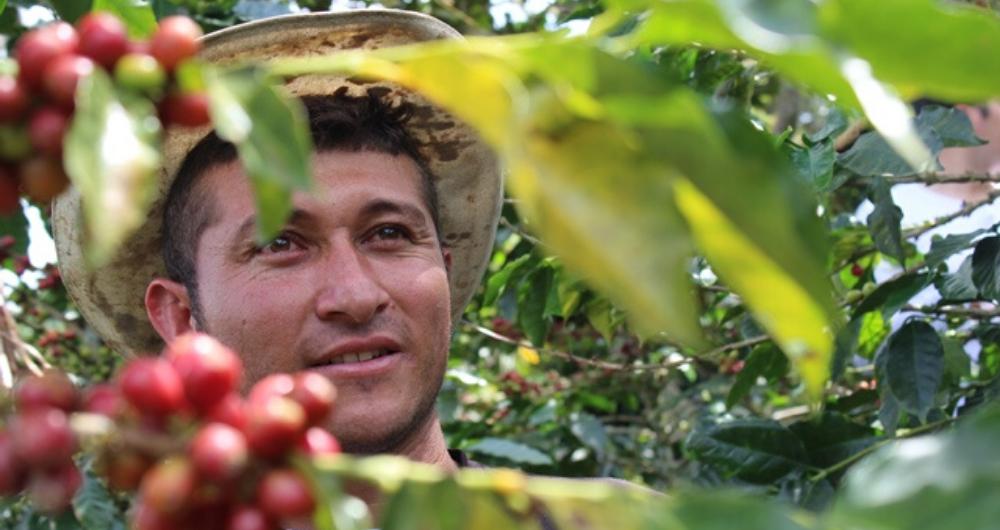 Caficultores en Antioquia recibirán dos millones de plántulas