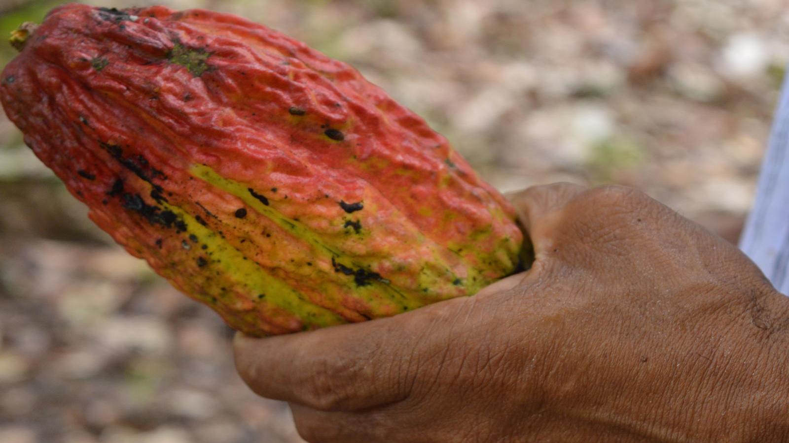 De la coca al cacao: el nuevo triángulo del chocolate