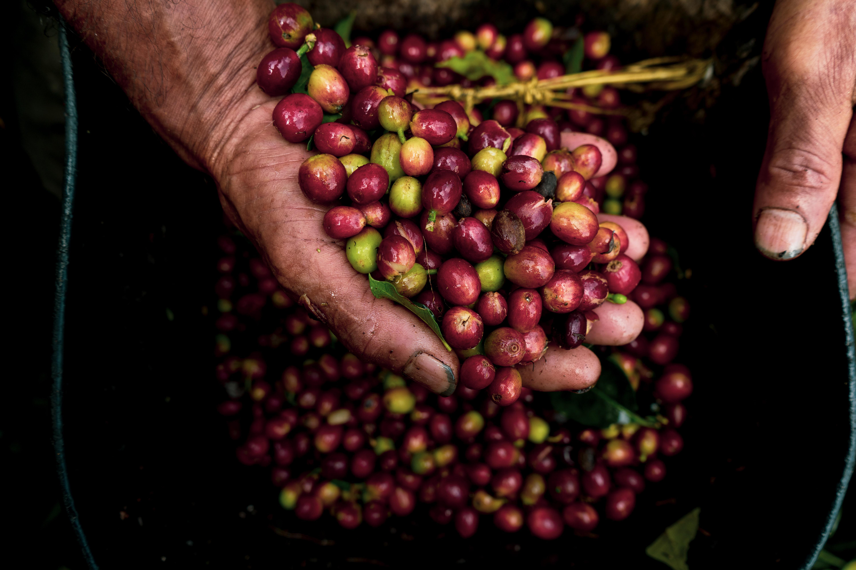 viaje-a-la-cosecha-de-cafe-mas-esperada-en-anos