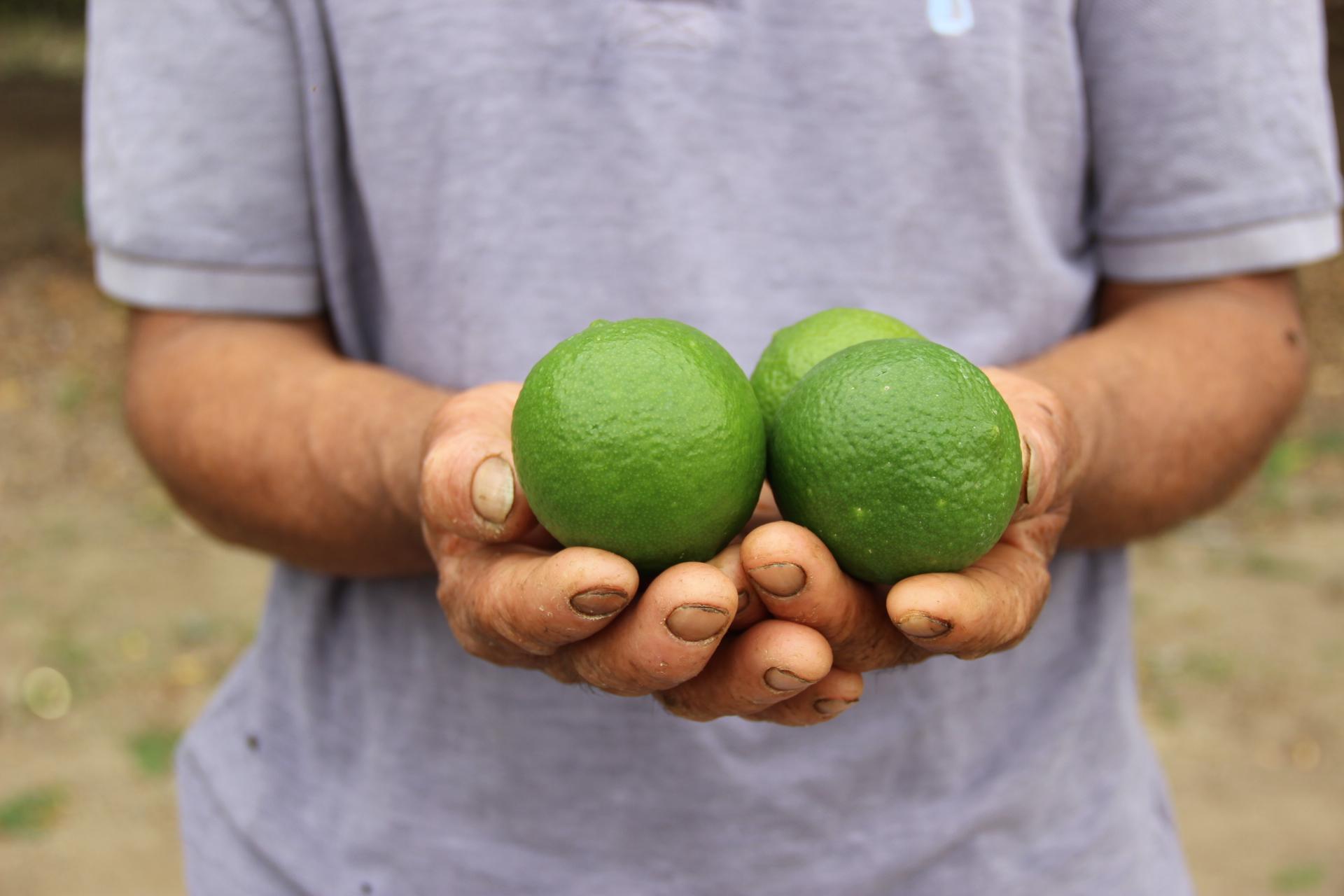 Los limones más dulces de Colombia: la apuesta para sustituir la coca en Nariño