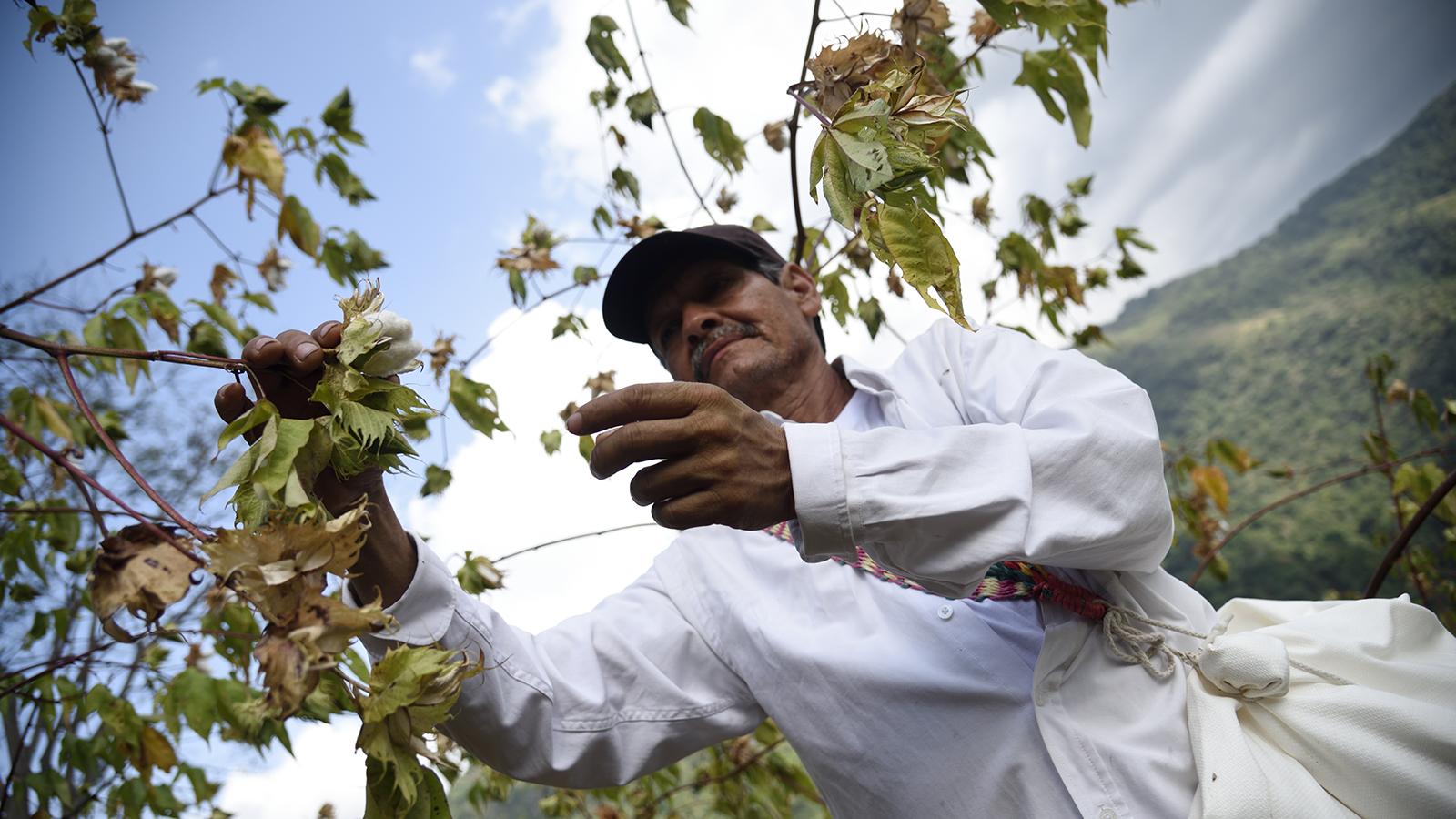 el-cultivo-milenario-que-espera-transformar-la-sierra-nevada-de-santa-marta