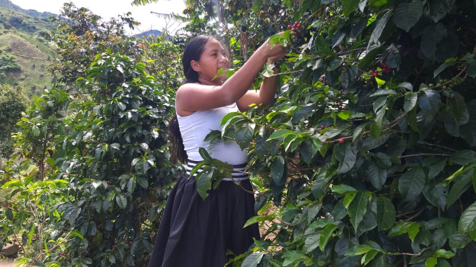Aponte: un resguardo indígena que el café salvó
