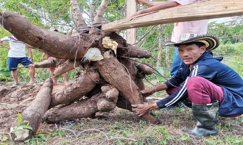 Lo hizo de nuevo: campesino en Montería produjo yuca de más de 100 libras