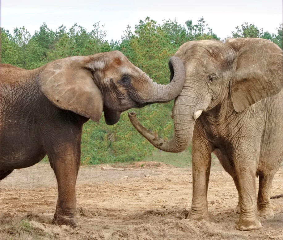History the elephant sanctuary in tennessee two african elephants sukari 31 and rosie 44 retire from the nashville zoo on november 4 and november 5 respectively at the sanctuary they are sciox Images