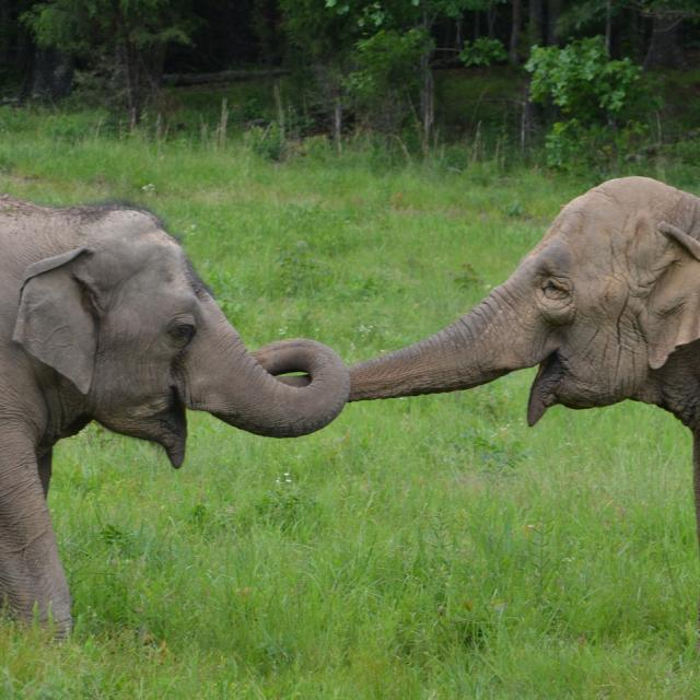 Photo Of Asian Elephants Trunk Touch