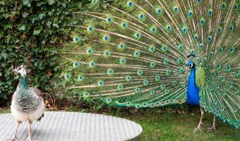 10 peacock.w529.h352.2x