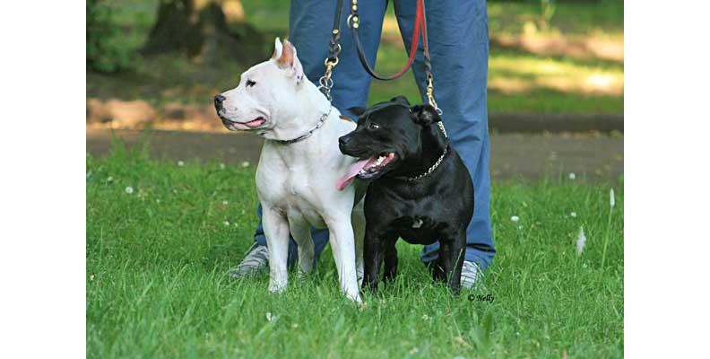 Image courtesy of http://www.doogweb.es/staffordshire-bull-terrier-amstaff-pit-bull/