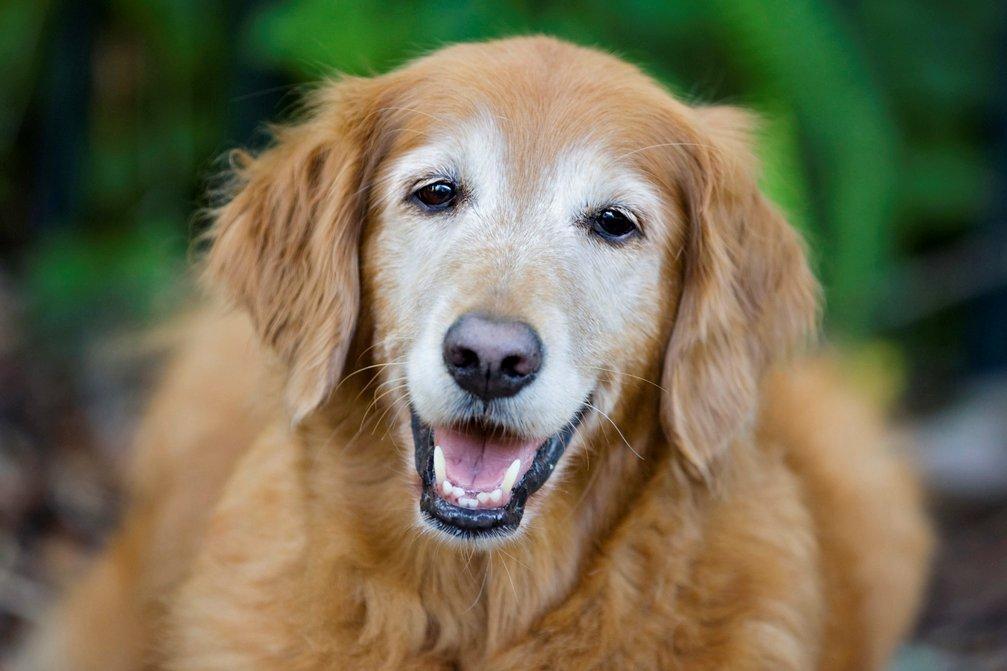 dog age golden retriever