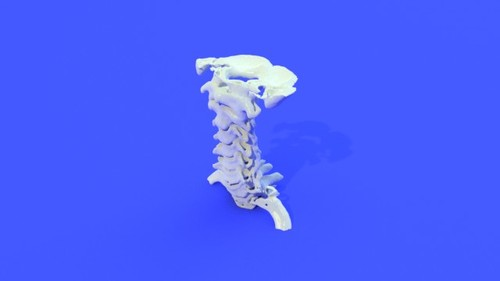 Ligaments Cervical Spine Model General Views Showing Manual Guide