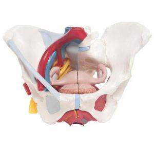 Pelvis femenina con ligamentos, vasos, nervios, piso pélvico y órganos (6-partes) Cat 3BS-H20-4 3b Scientific