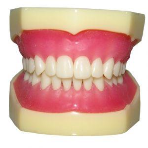 Modelo dental de dientes removibles Cat. ZEG-DENT-DIE-R  Zeigen