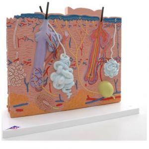 Modelo de la piel en 3 piezas Cat 3BS-J16 3b Scientific