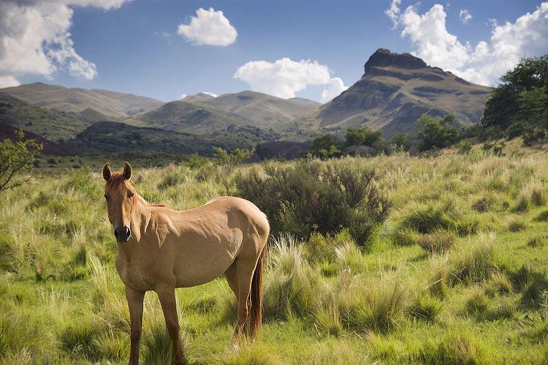 Two-dozen Retuerta horses have been released into the Campanarios de Azaba Biological Reserve in western Spain. Photo via Wikimedia Commons.