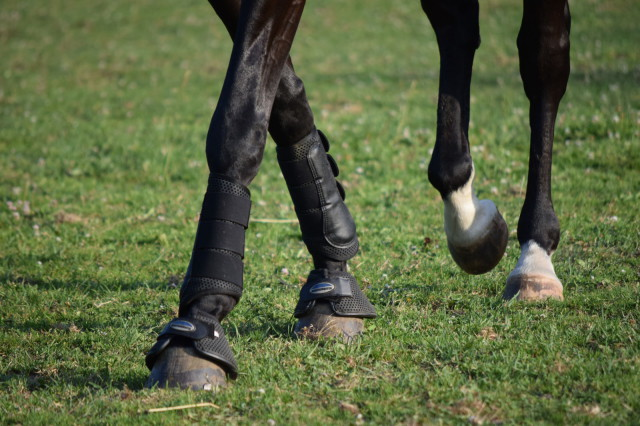 I do find that since I've both started wearing the Bell Boots and have had my farrier tighten up Roo's front shoes, that he hasn't sprung or pulled another shoe. Which is very welcome! Photo by Lorraine Peachey.