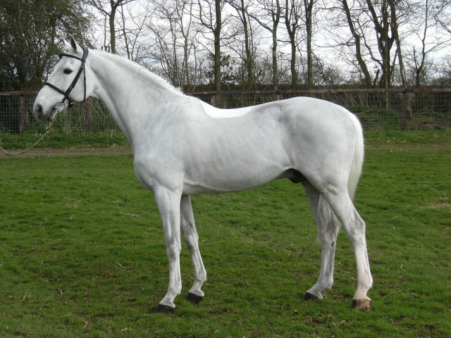 Cevin Z, another top stallion, carries the double crosses of both Cor de la Bryere and Capitol 1 in his pedigree. Photo by the Billy Stud