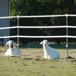 Bad goats!