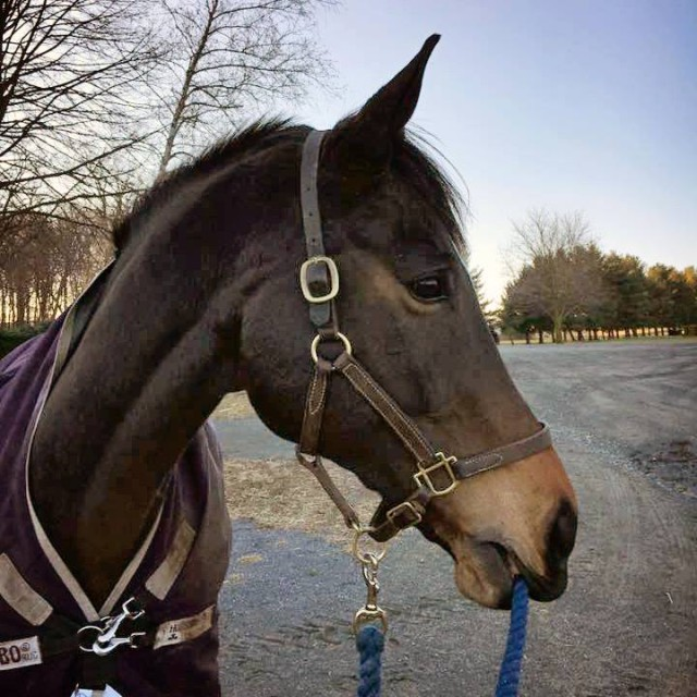 Mighty Nice is waiting patiently for his season to begin. Photo courtesy of Phillip Dutton Eventing.