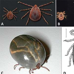 Asian Longhorned Tick