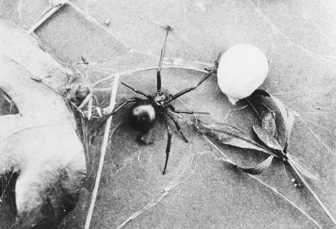 Black Widow Spider
