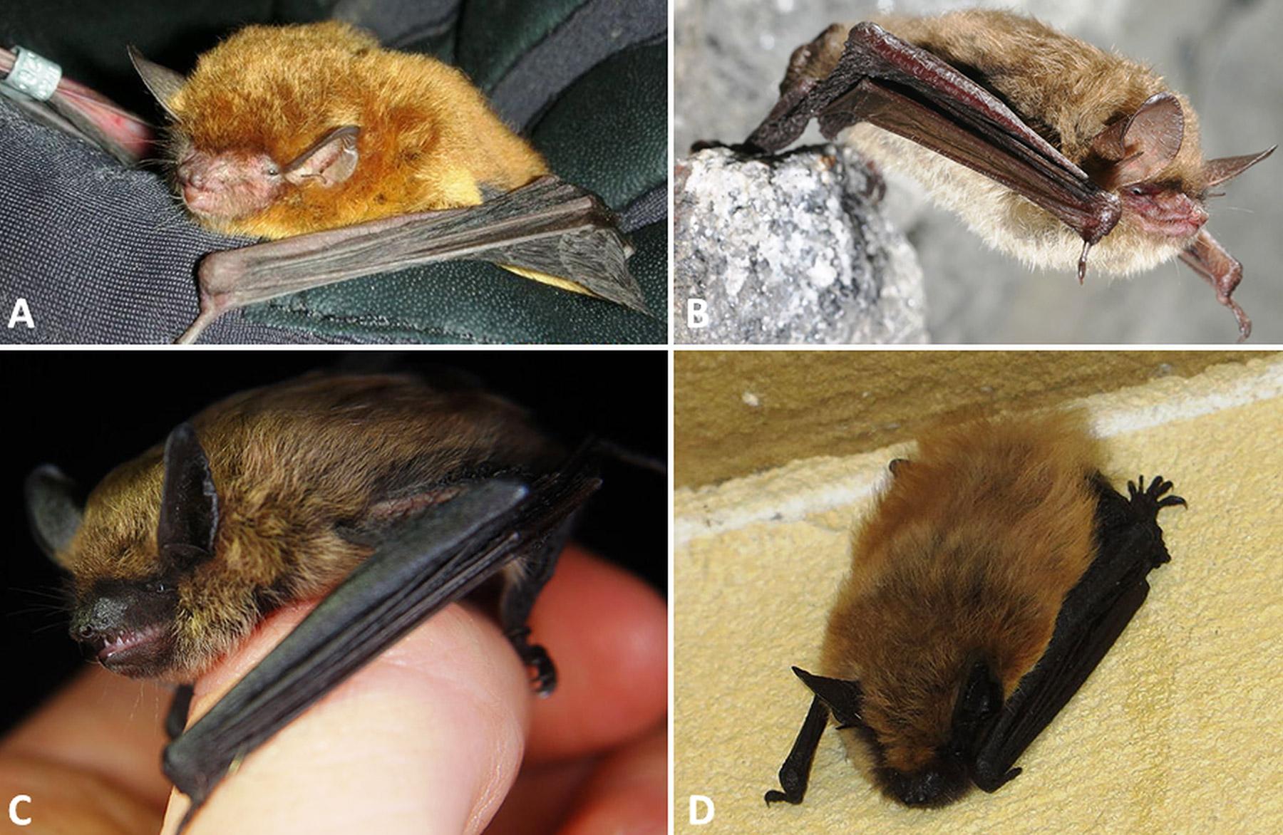 Myotis Bats