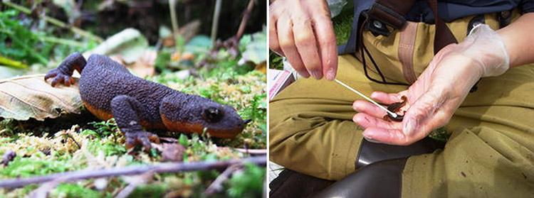 Batrachochytrium salamandrivorans