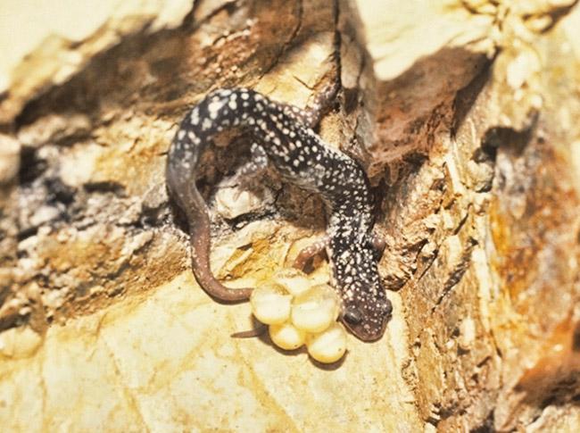 Caddo Mountain Salamander