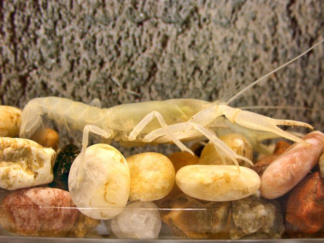 Benton County Cave Crayfish