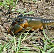 Boston Mountains Crayfish