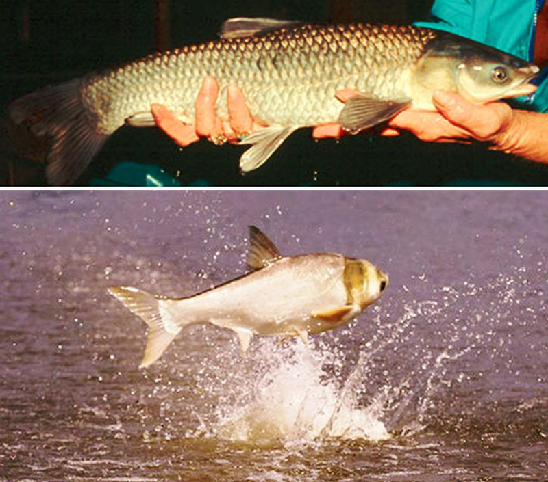 Carps of Arkansas