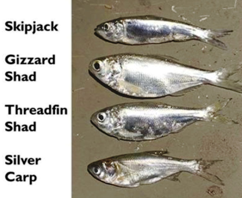 Arkansas Baitfish and the Silver Carp