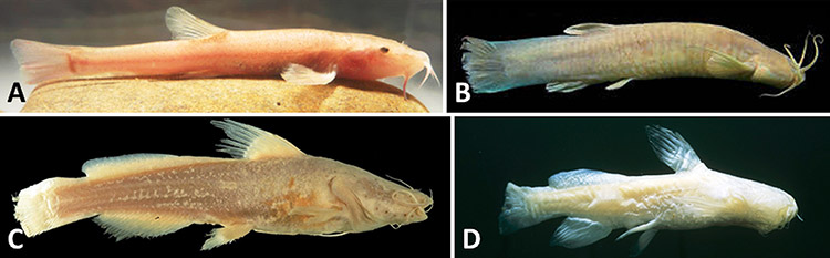 Cave-adapted Fishes