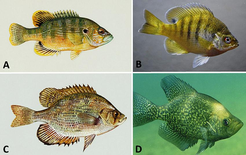 Arkansas Sunfishes