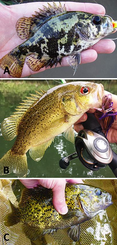 Arkansas Ambloplites