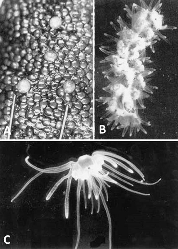 Polypodium hydriforme