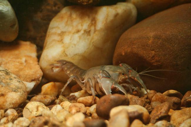 Timberlands Burrowing Crayfish