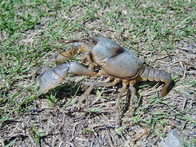 Daisy Burrowing Crayfish