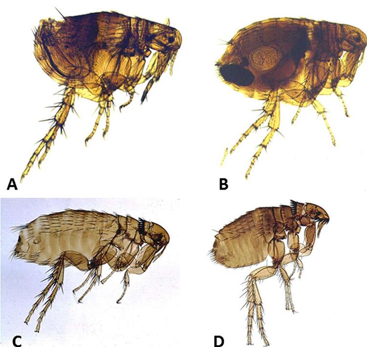 Flea Species