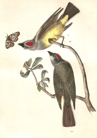 Audubon Illustration of Western Kingbird