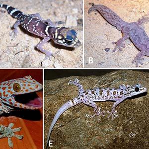 Various Geckos