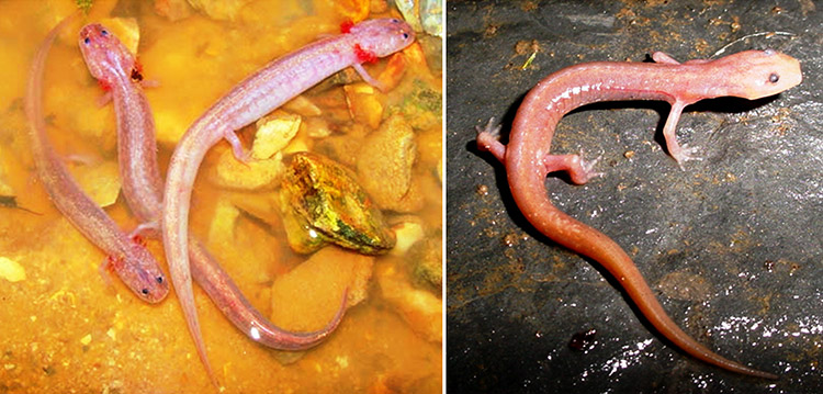 Grotto Salamanders