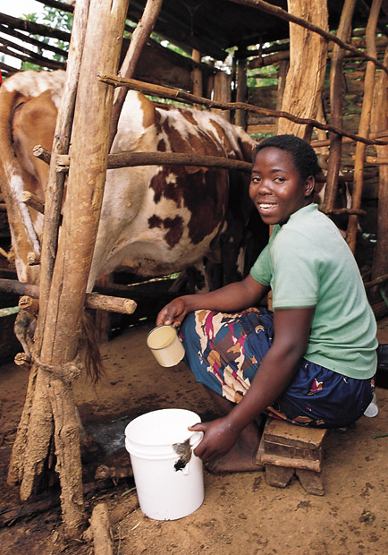Kenyan Woman Milking Heifer-Provided Cow