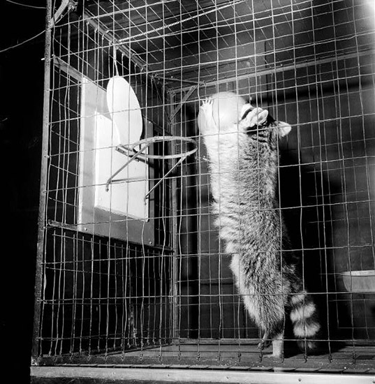 IQ Zoo Raccoon