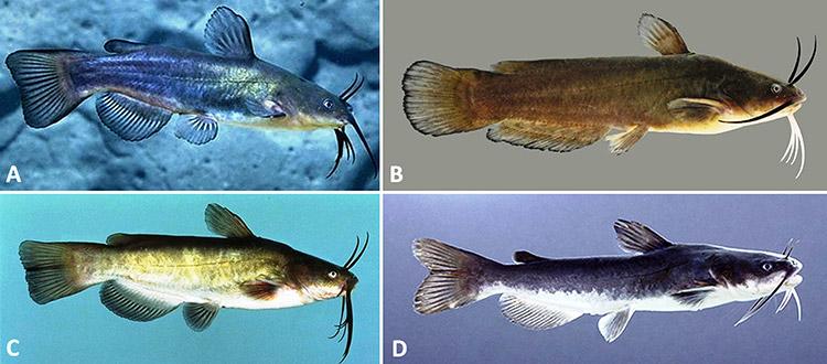 Bullhead Catfishes of Arkansas